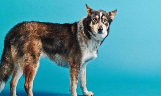 husky shepherd mix rescue