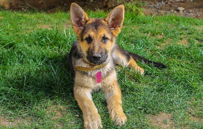 Iowa German Shepherd Breeders Review
