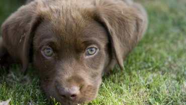 labrador puppies ny