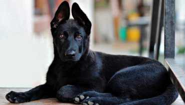 Large Black German Shepherd