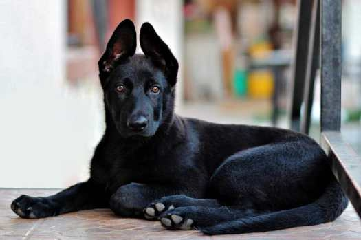 Large Black German Shepherd