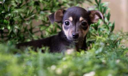 mini dachshund puppies sacramento