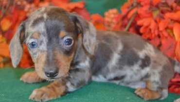 mini longhair dachshund puppies