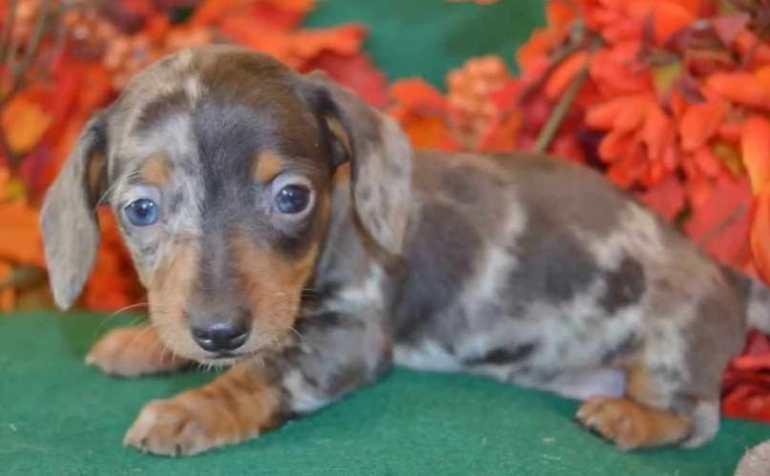 mini longhair dachshund puppies