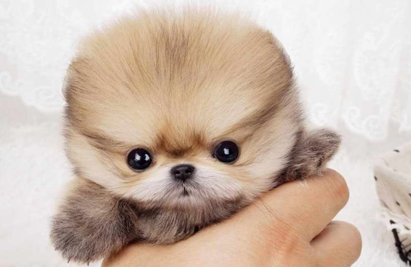 mini pomeranian puppies for sale