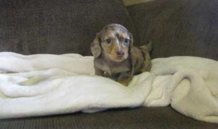 miniature dachshund puppies for sale in va