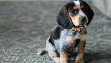nebraska beagle rescue