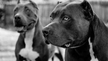pit bull rescue vancouver wa