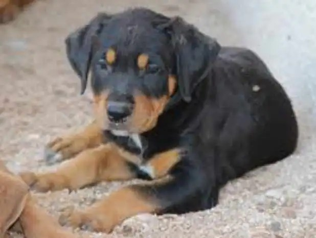 Pitbull And Rottweiler Mix Puppies For Sale Petswithloveus