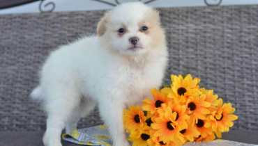 pomeranian breeders ohio