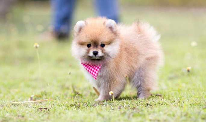 Pomeranian puppies in Chicago