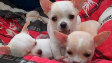 red chihuahua puppies