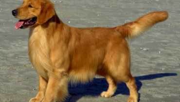 rescue golden retriever ohio