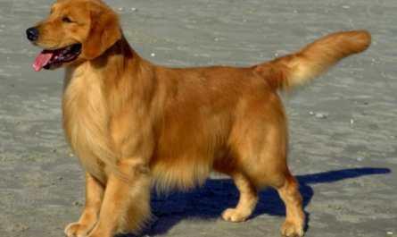 rescue golden retriever ohio