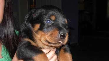 rottweiler puppies for sale in nh