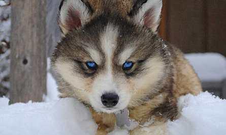siberian husky wolf puppies