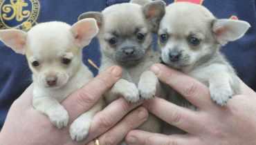 Teacup Chihuahua for Sale Austin TX