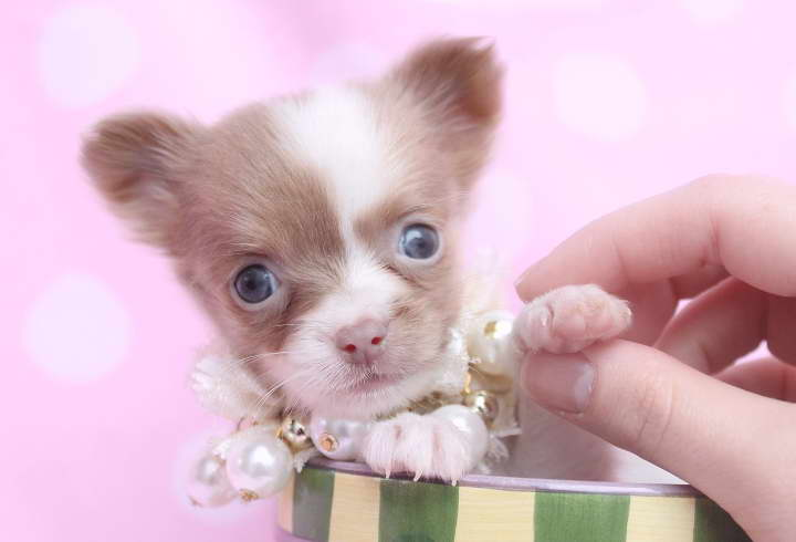 tiny teacup chihuahua puppies