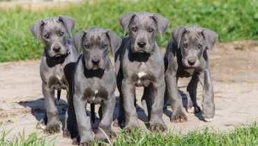 european blue great dane puppies for sale