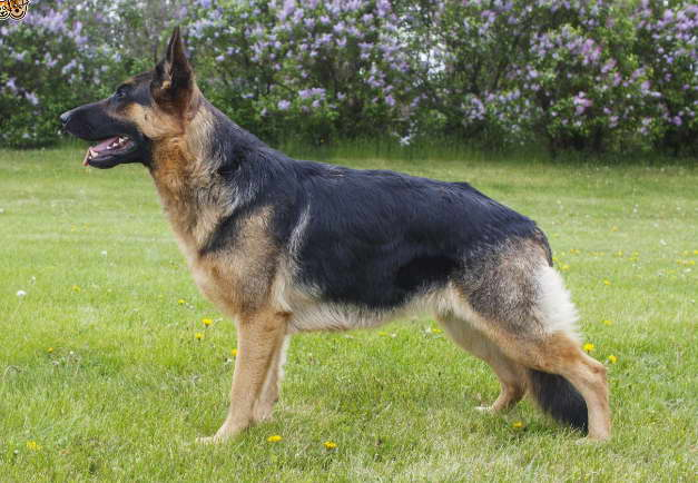 German Shepherd Insurance Information