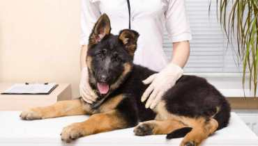 german shepherd neurological disorders