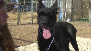 german shepherd puppies fresno ca
