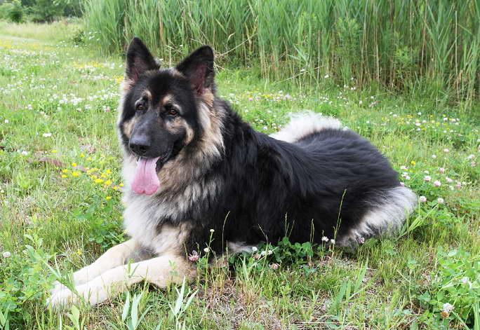 German Shepherd Puppies in WNY