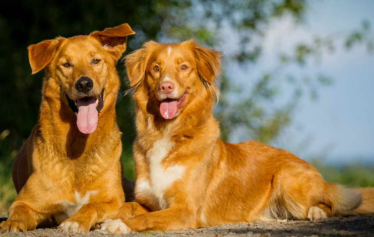 Golden Retriever Breeders in Massachusetts
