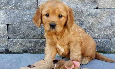 Golden Retriever Puppy that Stays Small