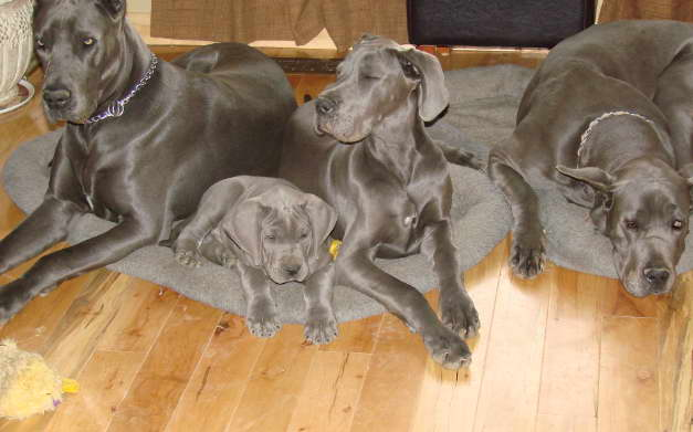 Great Dane Puppies For Adoption Near Me