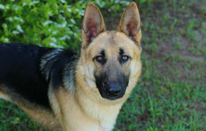 Information MD German Shepherd Rescue