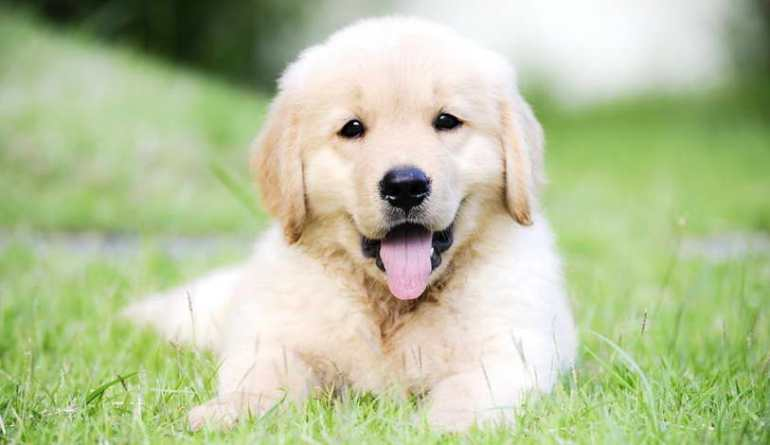 Prices for Golden Retriever Puppies