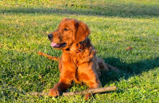 Red Golden Retriever Puppies Mn