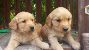 san diego golden retriever rescue