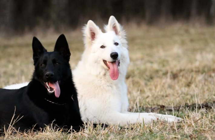 White German Shepherd Rescue California For Adopt