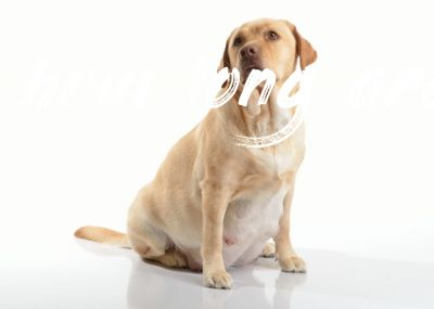 How Long Are Dogs Pregnant Best Pet