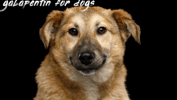Gabapentin For Dogs Information