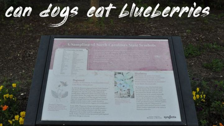 Can Dogs Eat Blueberries