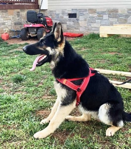 5 Great German Shepherd Dogs Ideas That You Can Share With Your Friends | German Shepherd Dogs