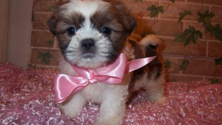Hypoallergenic Dogs For Sale Near Me