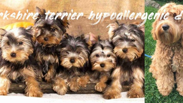 Yorkshire Terrier Hypoallergenic Dogs