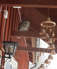 Under taknocken på Petterssons torp sitter då och då en kattuggla