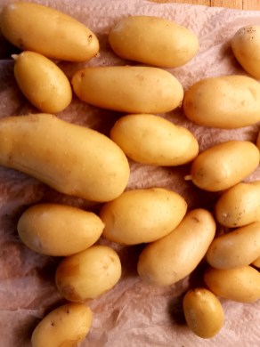 skördetid potatis
