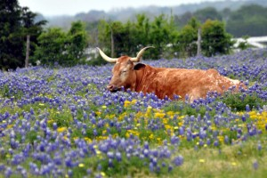 A longhorn dozes among bluebonnets outside Chappell Hill, Texas. (photo by Texas.713)