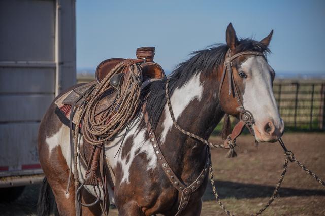 buckaroo horse