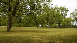 Texas pecan orchard