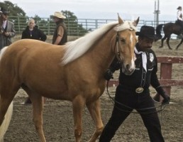 palomino Tennessee Walking Horse