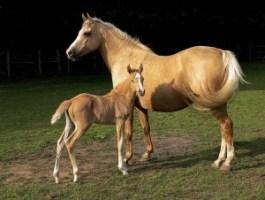 palomino and chestnut horses