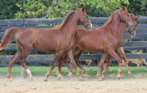 American Saddlebred yearling horses