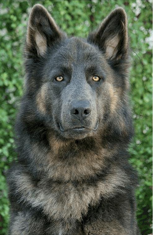 Lycan Shepherd Puppies : lycan, shepherd, puppies, Lycan, Shepherd, Everything, PetVR.com